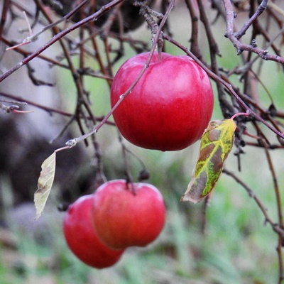 Apples on Naked Tree <i>- by Cathy Contant</i>