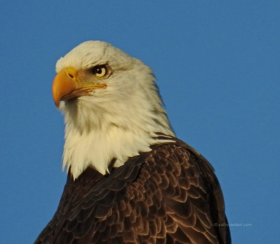 Bald Eagle 3rd Creek Sodus Bay <i>- by Cathy Contant</i>