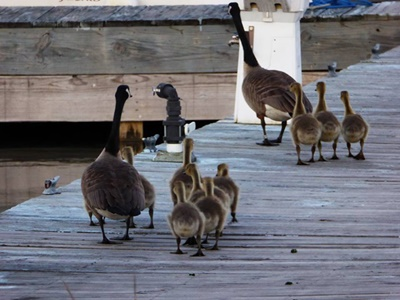 Canadian Geese Family <i>- by Cathy Contant</i>