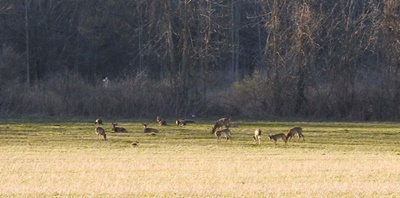Deer in Field near Sodus Bay <i>- by Cathy Contant</i>