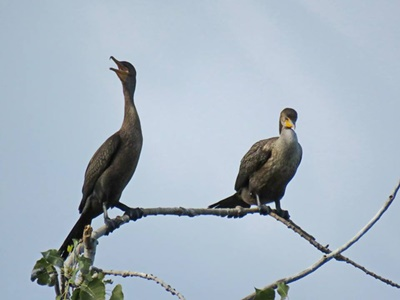 Double Crested Cormorants <i>- by Cathy Contant</i>