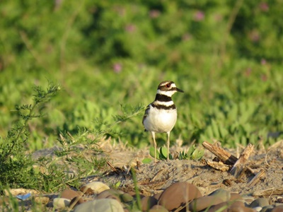 Killdeer at Great Sodus Bay <i>- by Cathy Contant</i>