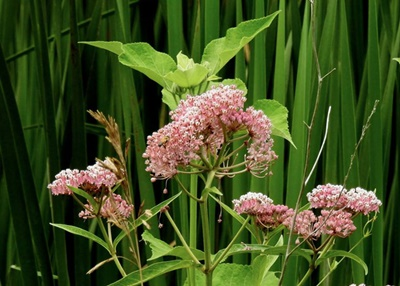 Milkweed <i>- by Cathy Contant</i>