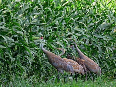 Sandhill Cranes in the Corn Field <i>- by Cathy Contant</i>