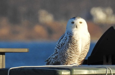 Snowy Owl at Great Sodus Bay <i>- by Cathy Contant</i>