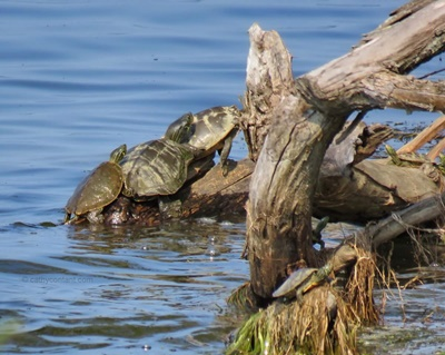 Sodus Bay Turtles