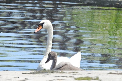 Swan Family on Great Sodus Bay <i>- by Cathy Contant</i>