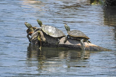 Triple Turtles <i>- by Cathy Contant</i>