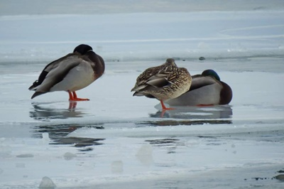 Winter Ducks <i>- by Cathy Contant</i>