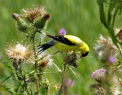 Bird on a Thistle <i>- by Cathy Contant</i>